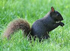 Several species of squirrels have melanistic phases. The most common variety seen in urban areas is the melanistic form of the Eastern Grey Squirrel