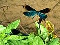 Blauflügel Prachtlibellen vor der Paarung 04.jpg