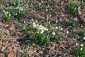 Bledule jarní v PR Králova zahrada 13.jpg