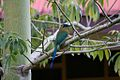 Blue-Crowned Motmot (5295145687).jpg