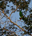 Blue-headed Parrot (Pionus menstruus) (39918716221).jpg