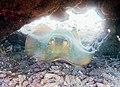 Blue-spotted maskray (Neotrygon kuhlii) (22501617234).jpg