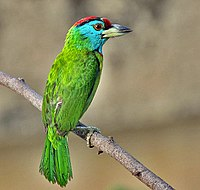 Blue-throated Barbet (Megalaima asiatica) in Kolkata I IMG 7592.jpg