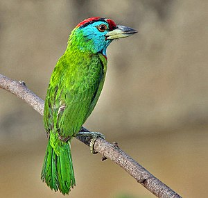Blue-throated barbet - In  Kolkata, West Bengal, India.