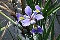 Blue Flag Iris (15867834522).jpg