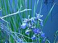 Blue flag iris (Whitefish Island) 2.JPG