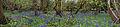 Bluebell Wood (6970009744).jpg