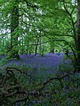 Bluebell Wood - geograph.org.uk - 165586.jpg