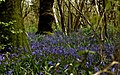 Bluebell woods near Gorwell farm - geograph.org.uk - 101933.jpg
