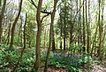Bluebells, Friston Forest - geograph.org.uk - 1281139.jpg