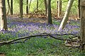Bluebells and Beech Trees, Crab Wood - geograph.org.uk - 930635.jpg