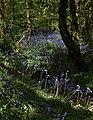 Bluebells in Unity Wood (2) - geograph.org.uk - 1314844.jpg