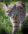 Bobcat (34889469373).jpg