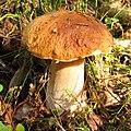 Boletus edulis Белый гриб под Санкт-Петербургом 01.jpg