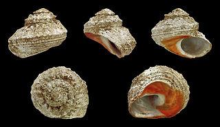 <i>Bolma rugosa</i> Species of gastropod