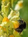 Bombus ruderarius - Linaria vulgaris - Valingu2.jpg