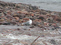 Bonaparte's Gull, Coppermine River.jpg