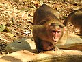 Bonnet Macaque Macaca radiata with young by Dr. Raju Kasambe DSCN0473 (7).jpg