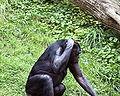 Bonobo 002.jpg