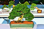 Bonsai in Thailand by Trisorn Triboon 4.JPG