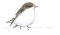 Bonte vliegenvanger Ficedula hypoleuca Jos Zwarts 2.tif