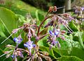 Borage. Borago officinalis. - Flickr - gailhampshire.jpg