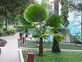 Borassus aethiopum 0007.jpg