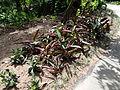 Botanical Garden of Peradeniya 17.JPG