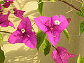 Bougainvillea flowers.JPG