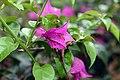 Bougainvillea spectabilis 10zz.jpg