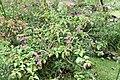 Bougainvillea spectabilis 17zz.jpg