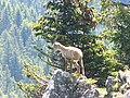 Bouquetin à la Roche Parnal - panoramio (1).jpg