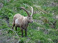 Bouquetin des Alpes (Capra ibex)2 02.JPG