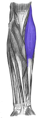 腕橈骨筋 - Wikipedia
