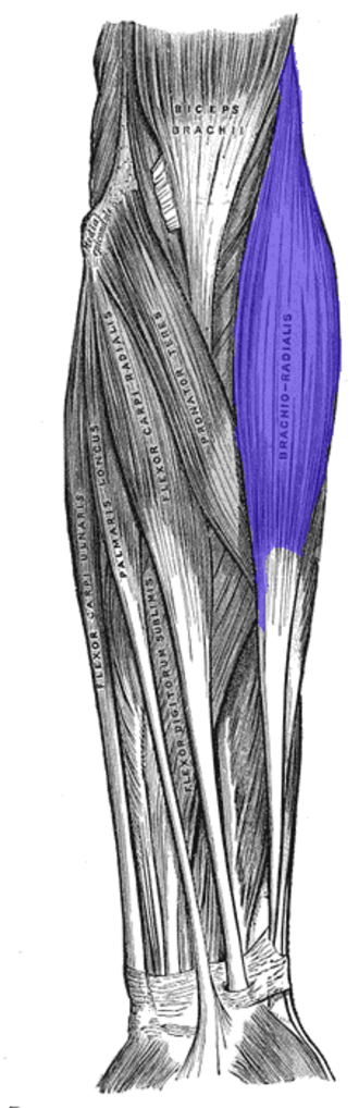 Brachioradialis - Anterior view of muscles of the left forearm with brachioradialis shown in blue