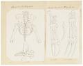 Bradypus spec. - skeletdelen - 1700-1880 - Print - Iconographia Zoologica - Special Collections University of Amsterdam - UBA01 IZ21000171.tif