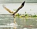 Brahminy Kite Swoop1 (6862000936).jpg