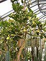Brasiliopuntia brasiliensis HabitusFlowers BotGardBln0806b.JPG