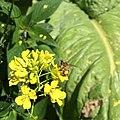 Brassica juncea with Apis mellifera.jpg