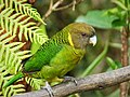 Brehm's Tiger Parrot. male Psittacella brehmii (48727038981).jpg