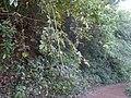 Bridelia stipularis (8287247622).jpg