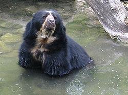 Un ours à lunettes au zoo de Zurich