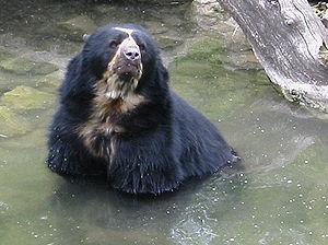 Rodríguez de Mendoza Province - The spectacled bear in Rodríguez de Mendoza, Perú.