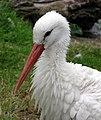 Bristol.zoo.white.stork.head.arp.jpg