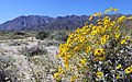 Brittlebush in the desert (33596888695).jpg