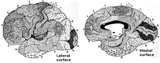 Cytoarchitecture - The human cerebral cortex divided into Brodmann areas on the basis of cytoarchitecture.