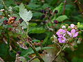Brombeere Blüten und Früchte.JPG