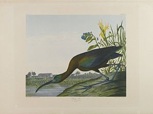 Glossy ibis - Glossy Ibis, John J. Audubon, Brooklyn Museum