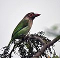 Brown-headed Barbet (Megalaima Zeylanica) in Delhi W Pix 085.jpg