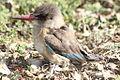 Brown-hooded Kingfisher (Halcyon albiventris) -- Halcyonidae (3761802371).jpg